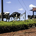 Cows - Costa Rica by Madeline Ellis