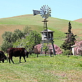 Cows Home On The Ranch At The Black Diamond Mines In Antioch California 5d22345 by Wingsdomain Art and Photography