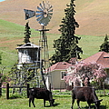 Cows Home On The Ranch At The Black Diamond Mines In Antioch California 5d22354 by Wingsdomain Art and Photography