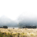 Cows In A Foggy Field by Bill Cannon