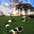 Cows In Pasture by Anthony Dezenzio