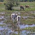 Cows In The Pantanal by Carol Ailles