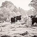 Cows by Karen Broemmelsick