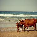 Cows On Sea Coast by Raimond Klavins