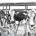 Cows Pencil Sketch by Thomas Woolworth