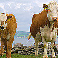 Cows by Terry Whittaker
