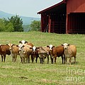 Cows8918 by Gary Gingrich Galleries