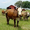 Cows8945 by Gary Gingrich Galleries