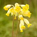 Cowslip   Primula Veris by Liz Leyden