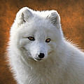 Coy Arctic Fox by Wes and Dotty Weber
