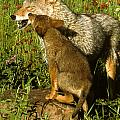 Coyote And Pup by Larry Allan