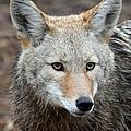 Coyote by Athena Mckinzie