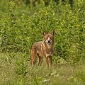 Coyote Happy by Eric Liller