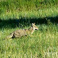 Coyote In Boulder Higlands by Rincon Road Photography By Ben Petersen