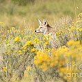 Coyote In The Chamisa by Deby Dixon