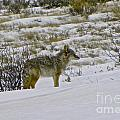 Coyote In The Snow by Tisha Clinkenbeard
