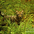 Coyote Of The Woods by Timothy Flanigan