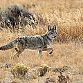 Coyote On The Move by Keith R Crowley