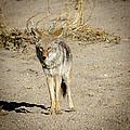Coyote by Robert Alexander