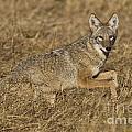 Coyote Running by Bryan Keil