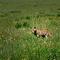 Coyote by Walt Sterneman