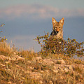 Coyote Watching by Kent Becker