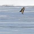 Coyote Winter By Jim Figielski by Paulinskill River Photography