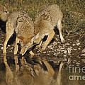 Coyotes by Ron Sanford