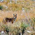 Coyotes by Steve Krull