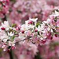 Crab Apple Blossom by Robert VanDerWal