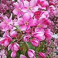 Crab Apple Blossoms by Aimee L Maher ALM GALLERY