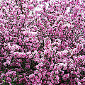 Crab Apple Tree by Aimee L Maher ALM GALLERY