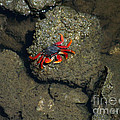 Crab Cake by Jennifer Lavigne
