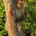 Crab Eating Macaque by Ramona Johnston