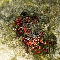Crab In Cozumel by Patti Whitten