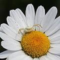 Crab Spider On Daisy by Doris Potter