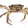 Crab Suriname by Piotr Naskrecki