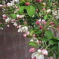 Crabapple Blossoms And Wall by Donald S Hall