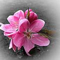 Crabapple Flower by Pete Trenholm