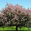 Crabapple Orchard by Susan Herber