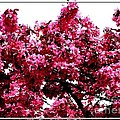 Crabapple Tree Blossoms by Rose Santuci-Sofranko