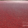 Cranberries by Olivier Le Queinec