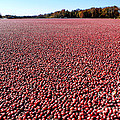 Cranberry Bog In New Jersey by Olivier Le Queinec