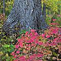 Cranberry Bush And Cottonwood Tree by Carl R. Battreall