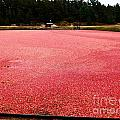 Cranberry Harvest 4 by Andrea Anderegg