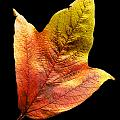 Cranberry Tree Leaf Isolated On White by Donald  Erickson