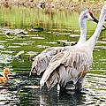 Crane Family Goes For A Swim by Susan Molnar