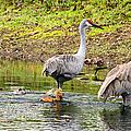 Crane Family Swim II by Susan Molnar