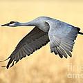 Crane Over Golden Field by Bryan Keil