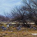 Cranes And Mixed Ducks by Brian Williamson